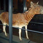 معلومات عن حيوان الكواجا واسباب انقراضه