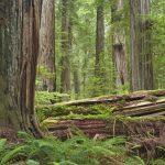 """شجرة السيكويا """" دائمة الخضرة """" المهددة بالانقراض"""