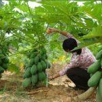 شروط زراعة شجرة البابايا وكيفية العناية بها