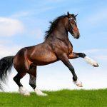 الوزن الصحي للحصان العربي وصفاته