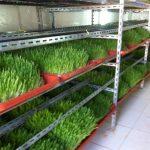 طريقة زراعة الشعير المستنبت