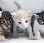 كيفية تحديد جنس القطط