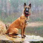 معلومات عن الكلب البلجيكي