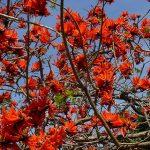 """حمرية شليبنية """" الشجرة المرجانية """" المهددة بالانقراض"""