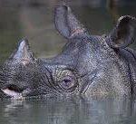 وحيد القرن الجاوي المهدد بالانقراض