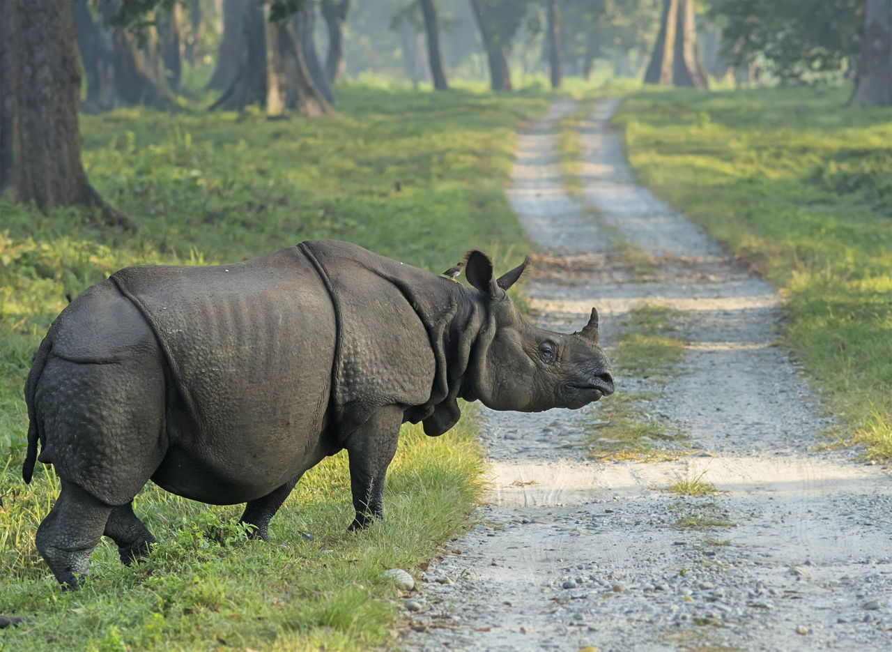 javan rhino facts range habitat diet population pictures - HD 1280×935