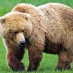 تفسير رؤية الدب في المنام