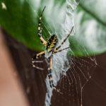 فوائد وجود العناكب في حديقة المنزل