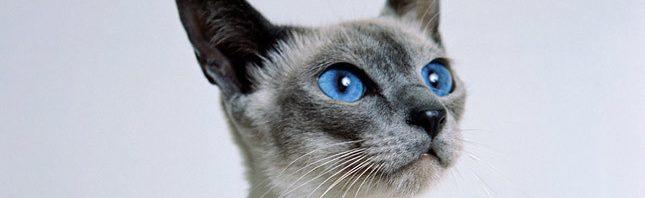 7f566048ca869 معلومات عن القط السيامي الأصلي