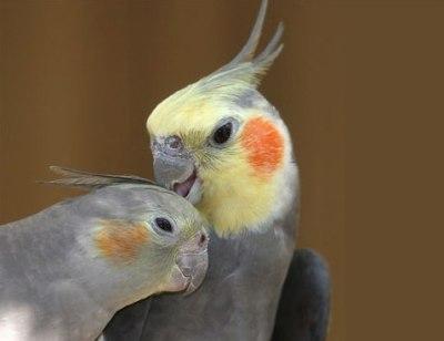 انواع طيور الكروان