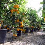 مناطق زراعة البرتقال في السعودية