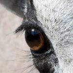 وصف عيون المها بالصور