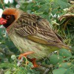 معلومات عن طائر التنوط ذو المنقار الأحمر