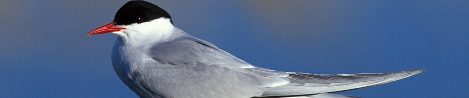 معلومات طائر الخرشنة القطبية