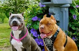 انواع الكلاب البيتبول