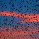 ظاهرة انتحار الطيور بقرية جانتيغا الهندية