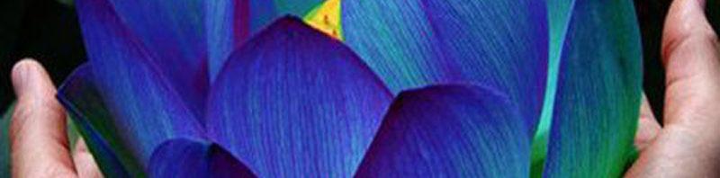 زهرة اللوتس الأزرق %D9%85%D8%A7-%D9%87%D9%88-%D8%A7%D9%84%D9%84%D9%88%D8%AA%D8%B3-%D8%A7%D9%84%D8%A3%D8%B2%D8%B1%D9%82-800x198
