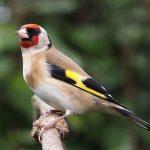 انواع طائر الحسون مع الصور