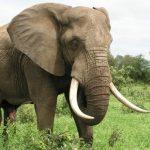 صفات الفيل للأطفال