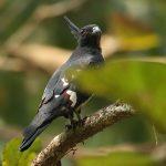 معلومات عن طائر البازا السوداء