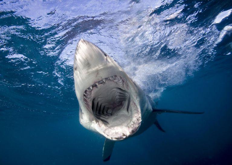 فوائد غضروف سمك القرش المرسال
