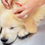 مرض لايم في الكلاب
