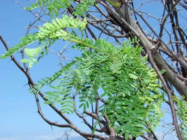 معلومات وصور عن نبات السمر المرسال