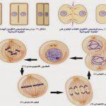 مراحل الانقسام الخيطي المتساوي في الخلية النباتية