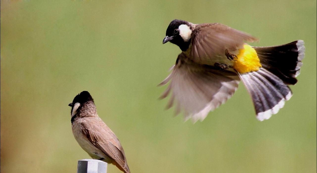 أنواع الطيور المغردة المرسال