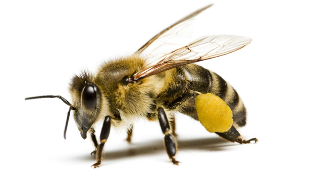 number of bee eyes Number of bee eyes  D8 A7 D9 84 D9 86 D8 AD D9 84