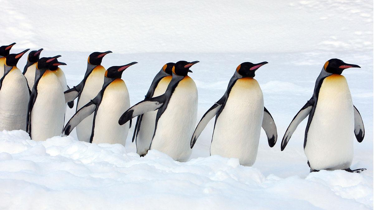 يعيش البطريق