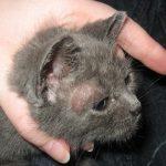 04f61daa93e32 مراحل نمو القطط · فطريات أذن القطة
