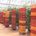 زراعة الطماطم في البيوت البلاستيكية