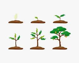 مراحل نمو النبات المرسال