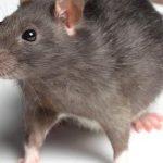 العلاقة بين الطاعون والفئران