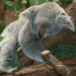 أين يعيش دب الكوالا