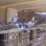 اعراض انفلونزا الطيور على الحمام