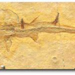 تاريخ تطور سمك القرش