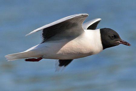 حقائق غريبة عن طائر النورس المرسال