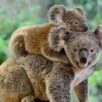 حقائق ومعلومات عن حيوان الكوالا