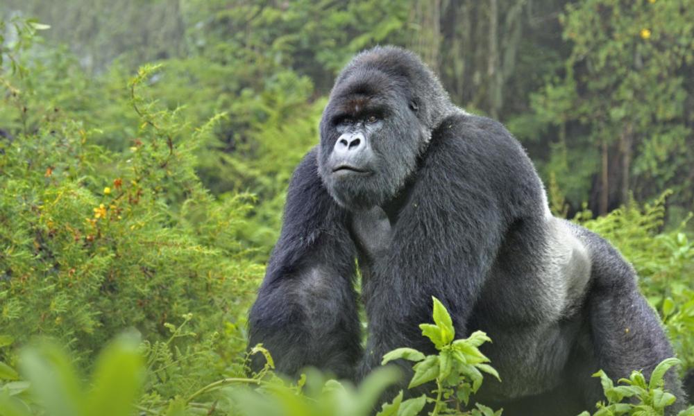 أفضل رحلات السفاري الإفريقية رحلات-سفاري-تنزانيا-ومشاهدة-الغوريلا-في-أوغندا.jpg