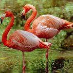 معلومات عن طيور الفلامنجو