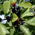 فوائد نبتة الكاسكارا ساجرادا cascara