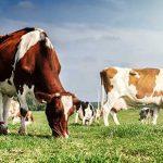 دورة حياة البقرة