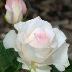 الفرق بين الزهرة والوردة