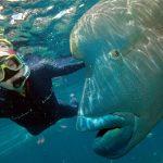 سمكة نابليون المهددة بالإنقراض