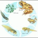 دورة حياة البرمائيات
