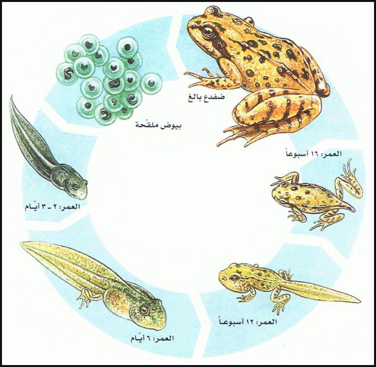 دورة حياة البرمائيات المرسال