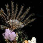 معلومات عن نجم البحر الريشي
