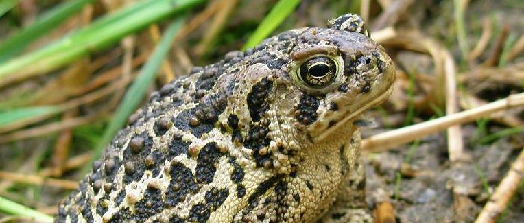 البرمائيات المهددة بالانقراض Wyoming-toad.jpg